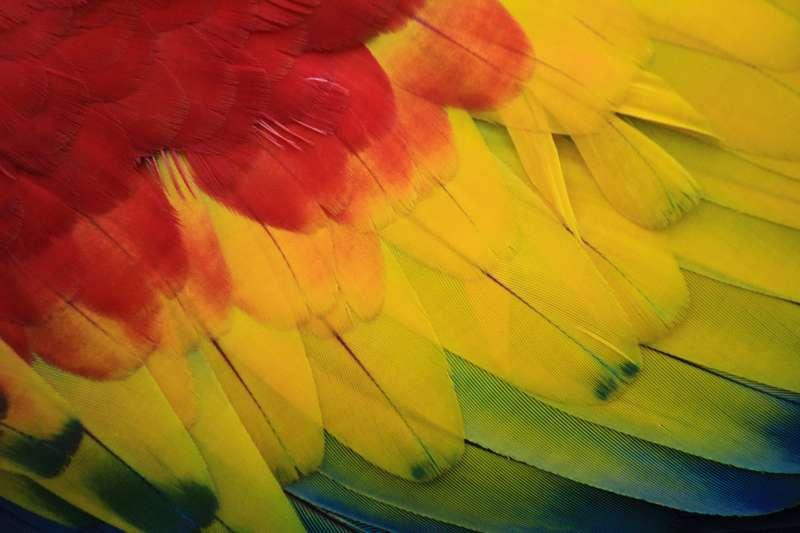 belles plumes pour canari