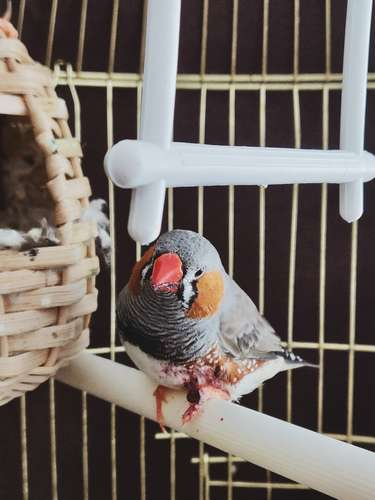 transporter un oiseau en cage