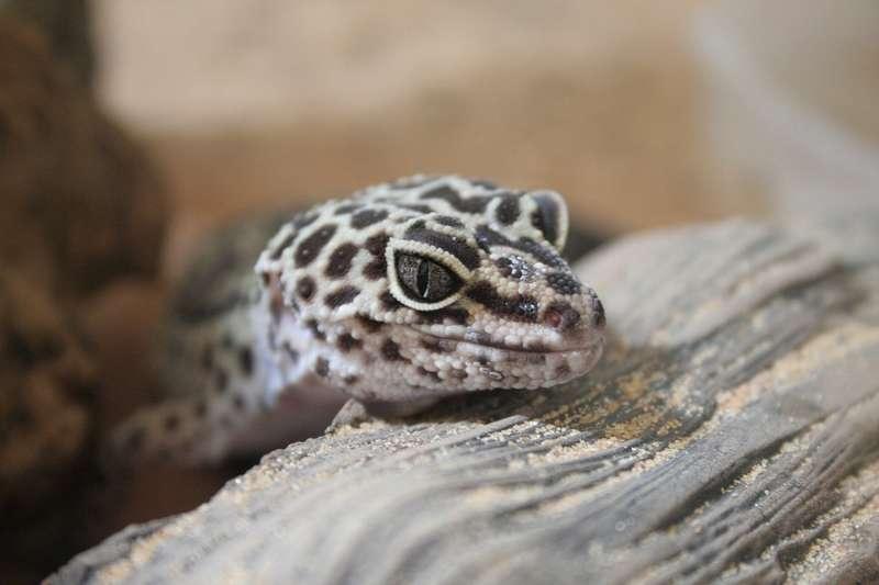 élever un gecko
