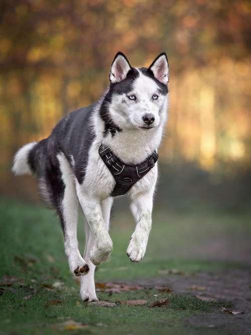 choisir harnais ou collier pour chien