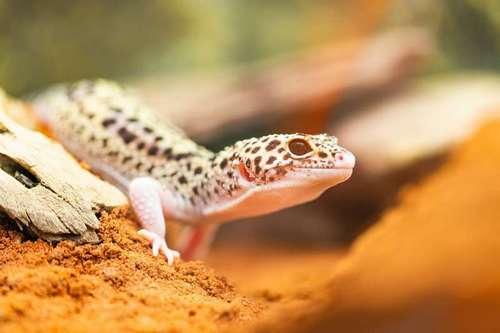 lezard gecko à élever