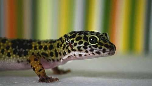 démarrer avec un gecko léopard